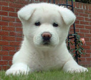 Akita pups for you