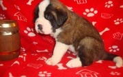 Lovely Saint Bernards' Puppies