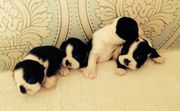 Beautiful Kc Reg Boston Terrier Puppies.