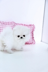 Beautiful Pomeranian Puppies up for Adoption