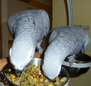 Proven  Pairs Of African Grey Congo For Sale