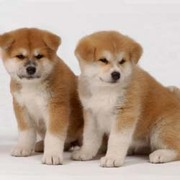 cute adorable akita puppies